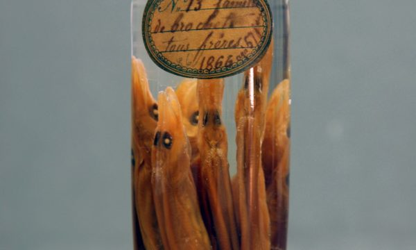 Esox lucius, collections du muséum de Toulouse