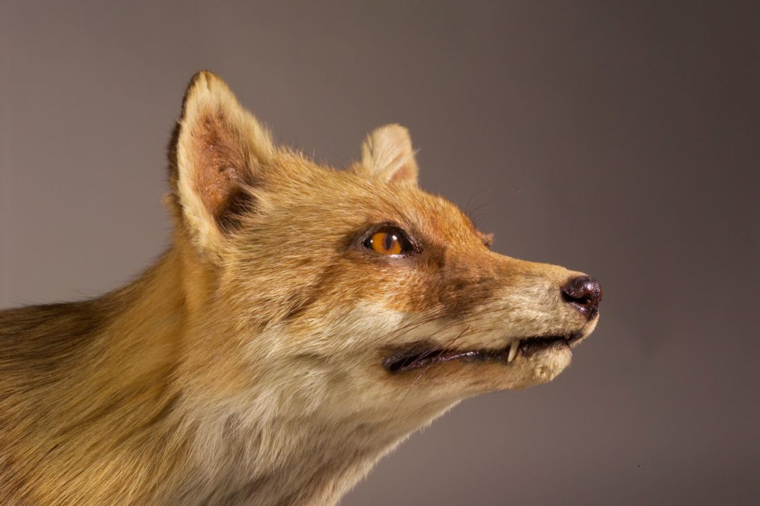 Vulpes vulpes, collections du muséum de Toulouse
