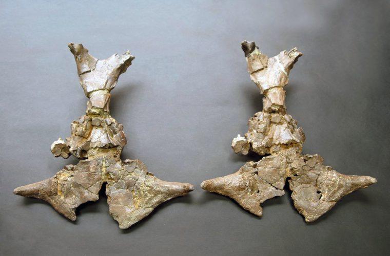 Moulage d'Ampelomeryx, muséum de Toulouse
