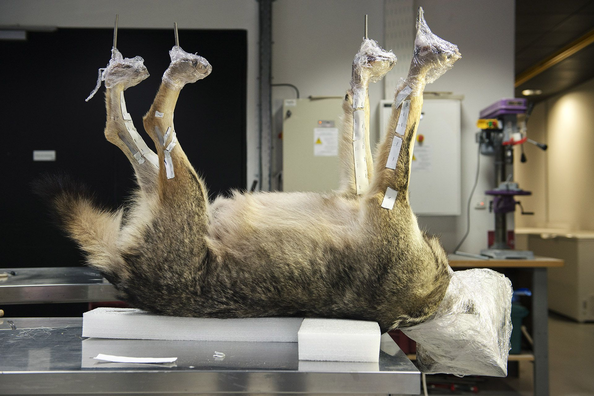 Canis lupus, collections du muséum de Toulouse