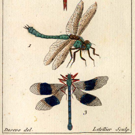 Libellules, Atlas des insectes, collections du muséum de Toulouse