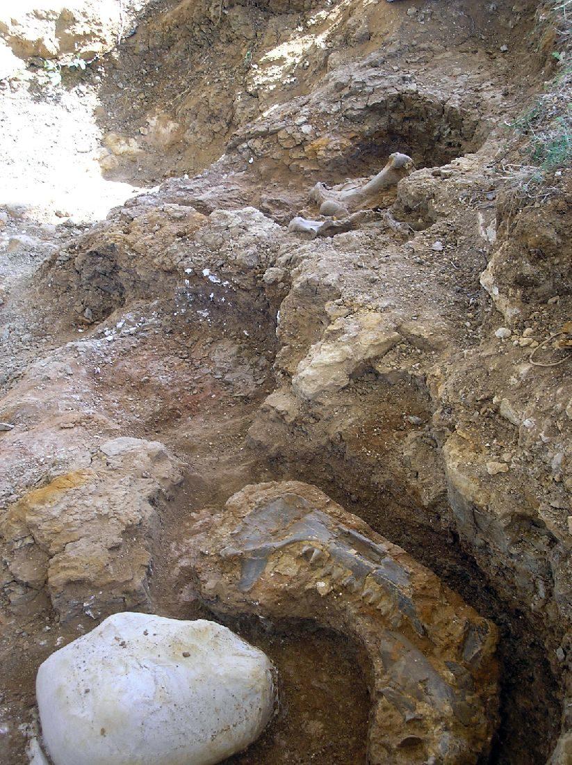 Rhinocéros du Miocène (-17 millions d'années) - collections du muséum de Toulouse
