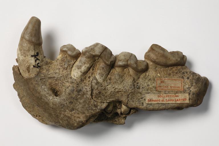 Crocuta crocuta spelaea, collections du muséum de Toulouse