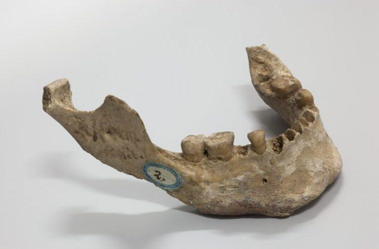 Mandibule d'Homo sapiens, collections du muséum de Toulouse