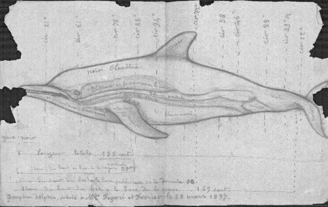 Delphinus delphis, muséum de Toulouse