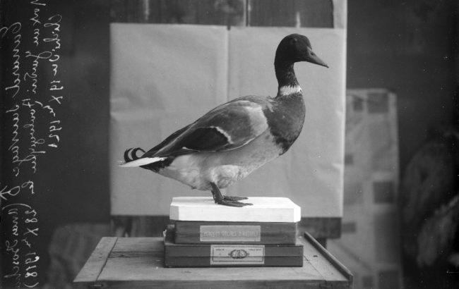 Canard colvert mâle, Anas platyrhynchos, photo. muséum de Toulouse
