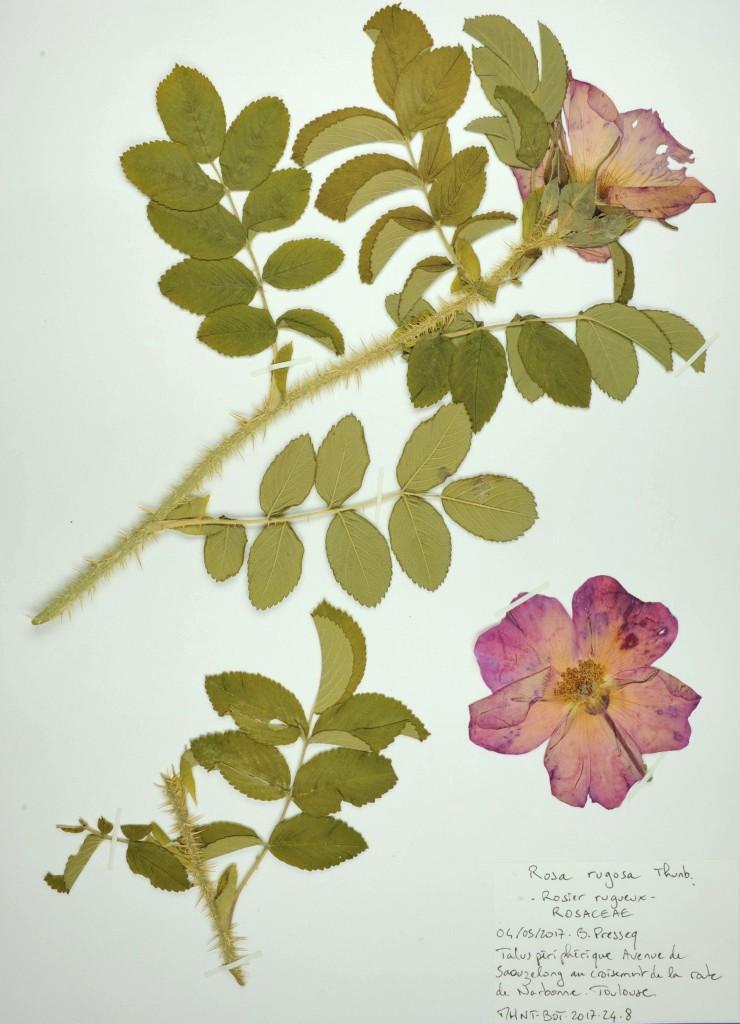 Rosa rugosa, Herbier de la flore toulousaine, collections du muséum de Toulouse
