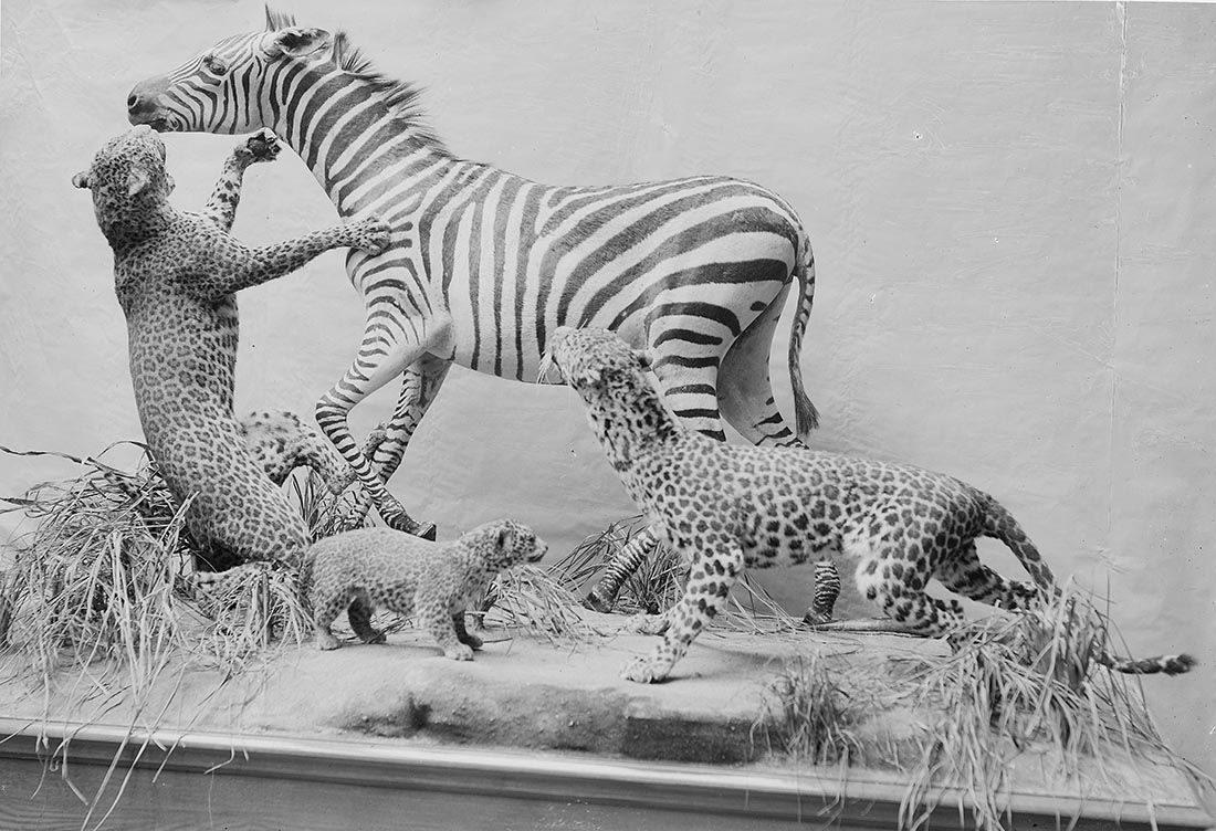Photographie d'une scène naturaliste, chasse au zèbre, collections du muséum de Toulouse