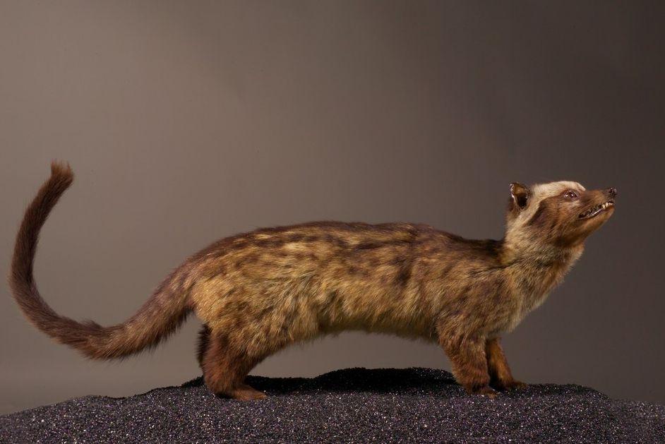 Paradoxurus hermaphroditus, collections du muséum de Toulouse