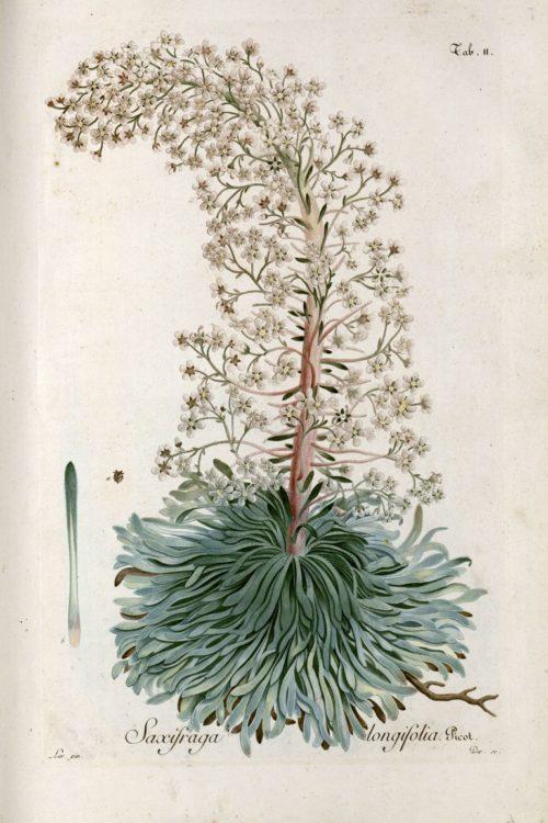 Figures de la flore des Pyrénées, avec des descriptions, des notes critiques et des observations, Picot de Lapeyrouse, collections du muséum