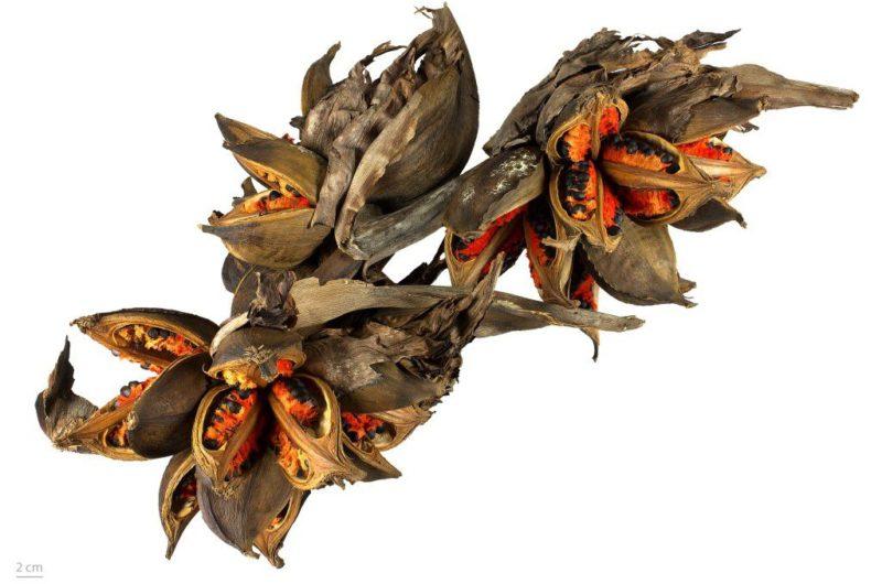 Phenakospermum guyanense, collections du muséum de Toulouse
