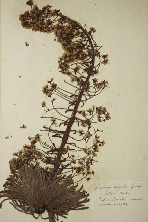 Planche d'herbier de Picot, Saxifraga longifolia, collections du muséum de Toulouse