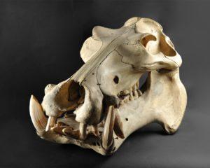 Hippopotamus amphibius, objet transféré au muséum de Toulouse en 1865