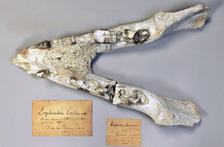Lophiodon lautricence (holotype, figuré) objet transféré au muséum de Toulouse en 1865
