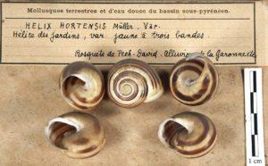 Helix hortensis, collections du muséum de Toulouse