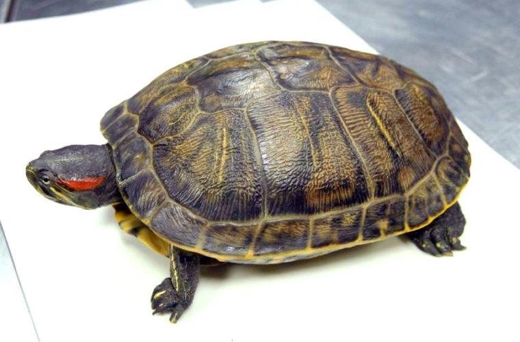 Moulage de tortue, collections du muséum de Toulouse
