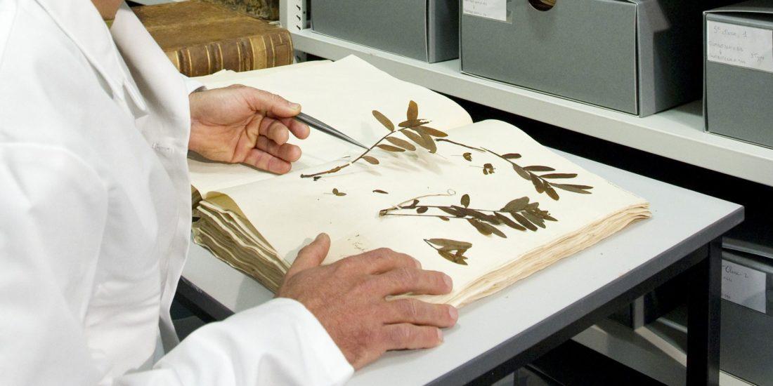 Préparation de planche d'herbier, muséum de Toulouse