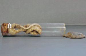 Tropidonotus palustris, Uruguay, collections du muséum de Toulouse