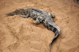 Tomistoma schlegelii, illustration Wikipédia