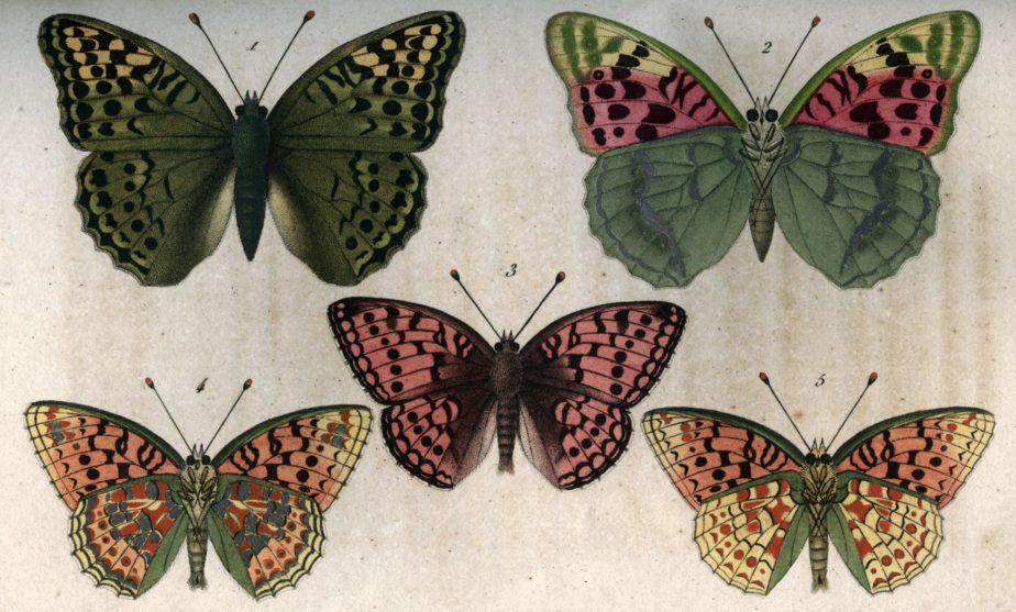 Histoire naturelle des lépidoptères, collections du muséum de Toulouse