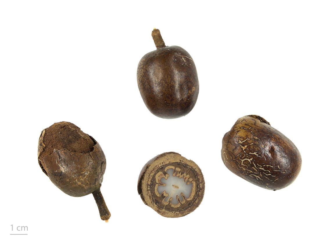 Bismarckia nobilis, collections du muséum de Toulouse