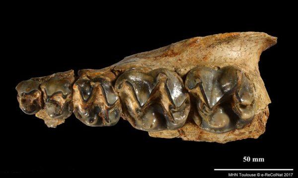 Chalicotherium goldfussi, collections du muséum d'Histoire naturelle de Toulouse