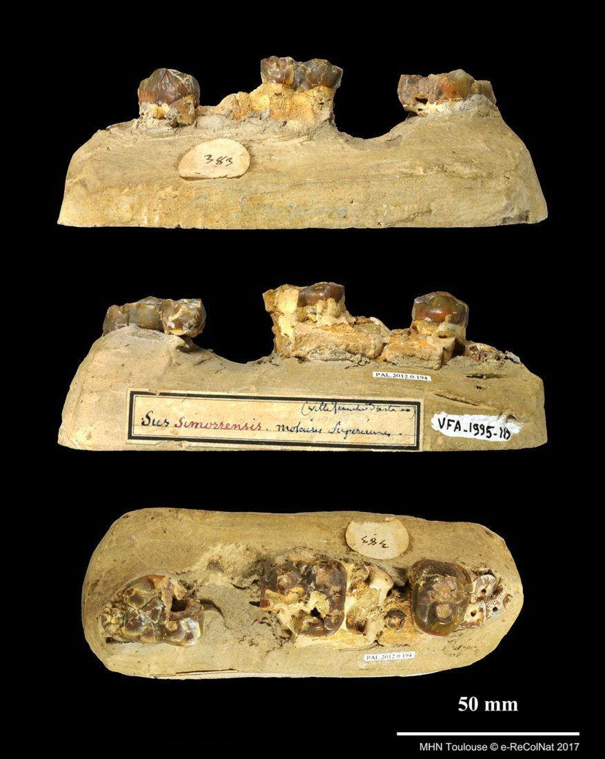 Retroporcus matritensis, collections du muséum d'Histoire naturelle de Toulouse