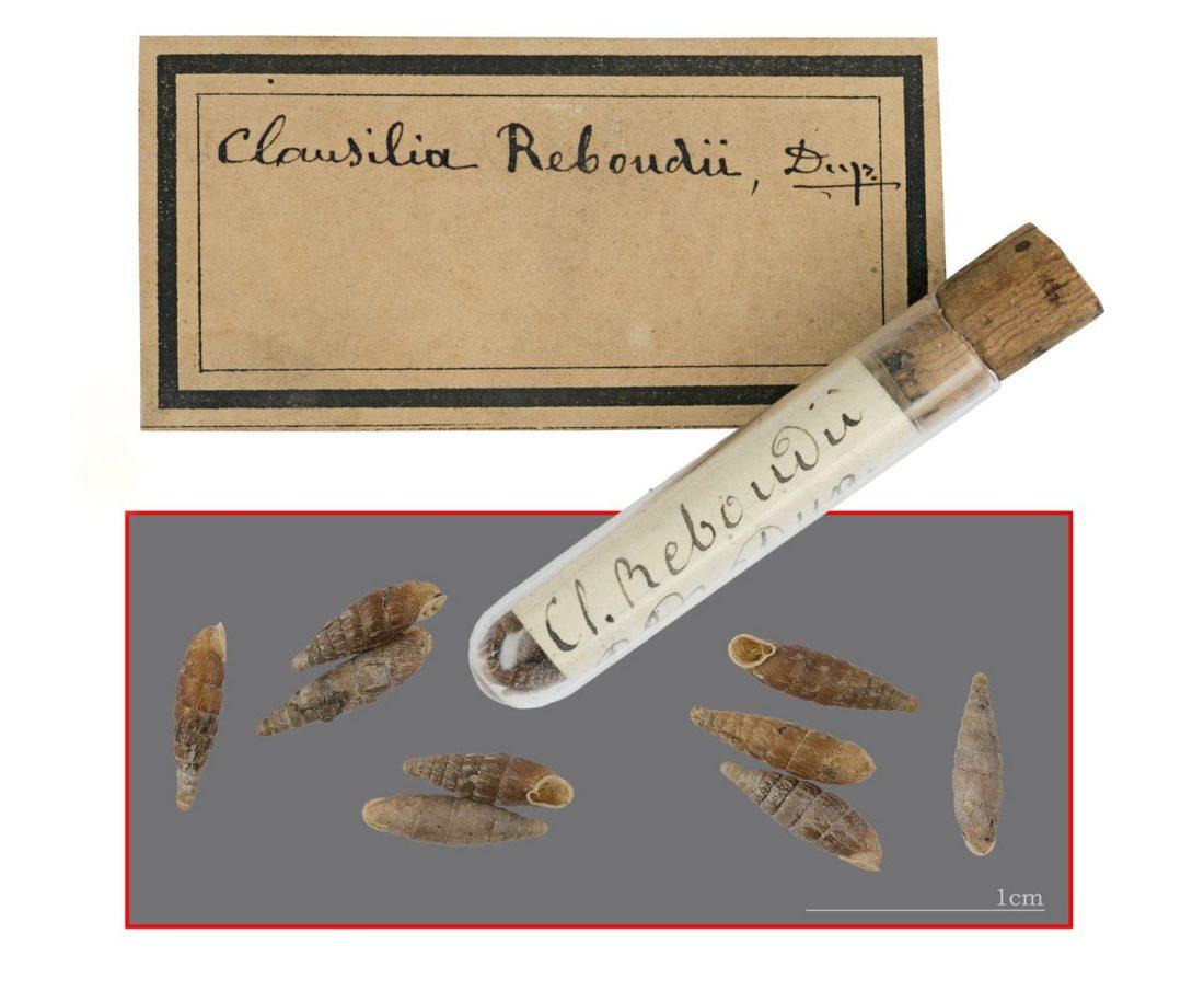 Clausilia rugosa reboudii, collections du muséum de Toulouse