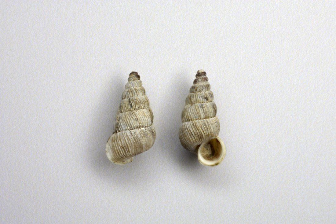 Obscurella nouleti, collections du muséum de Toulouse
