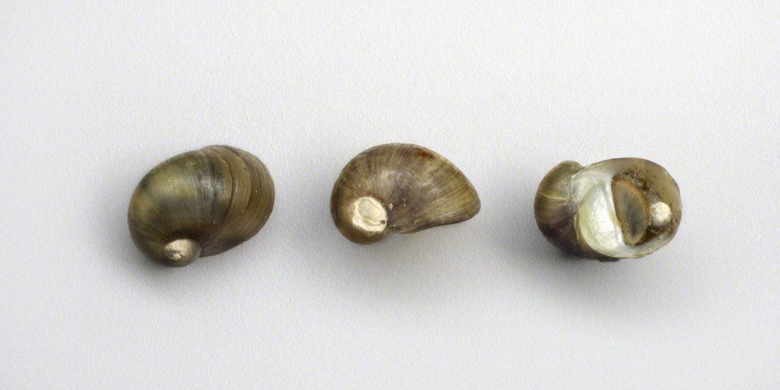 Thodoxus fluviatilis thermalis, collections du muséum de Toulouse