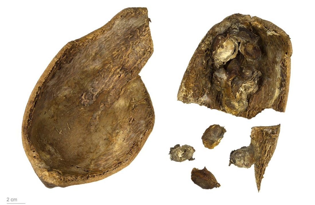 Theobroma grandiflorum, collections du muséum de Toulouse