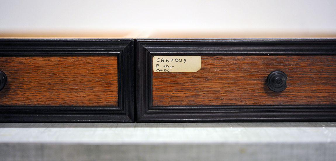 Tiroir de Carabus, collections du muséum de Toulouse