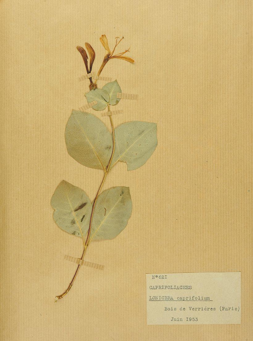 Lonicera caprifolium, collections du muséum de Toulouse