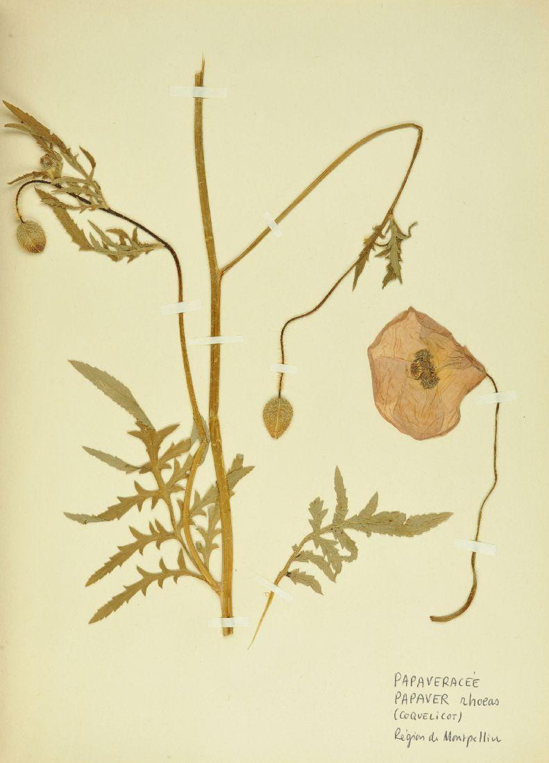 Papaver rhoeas, collections du muséum de Toulouse