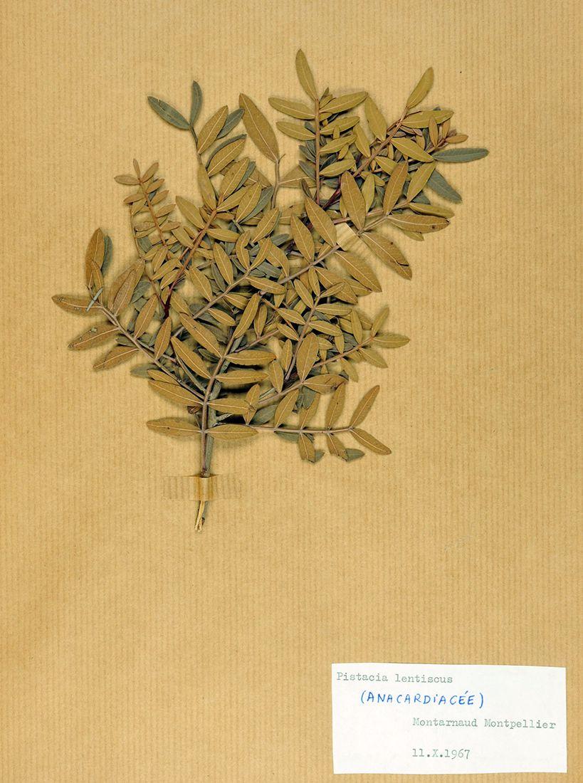 Pistacia lentiscus, collections du muséum de Toulouse