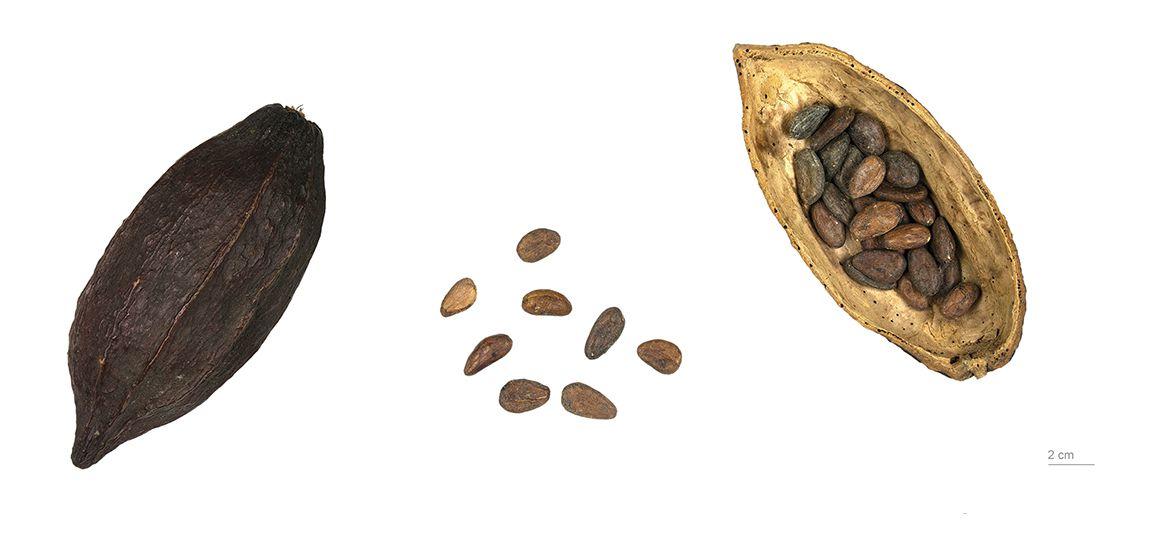 Theobroma cacao, collections du muséum de Toulouse