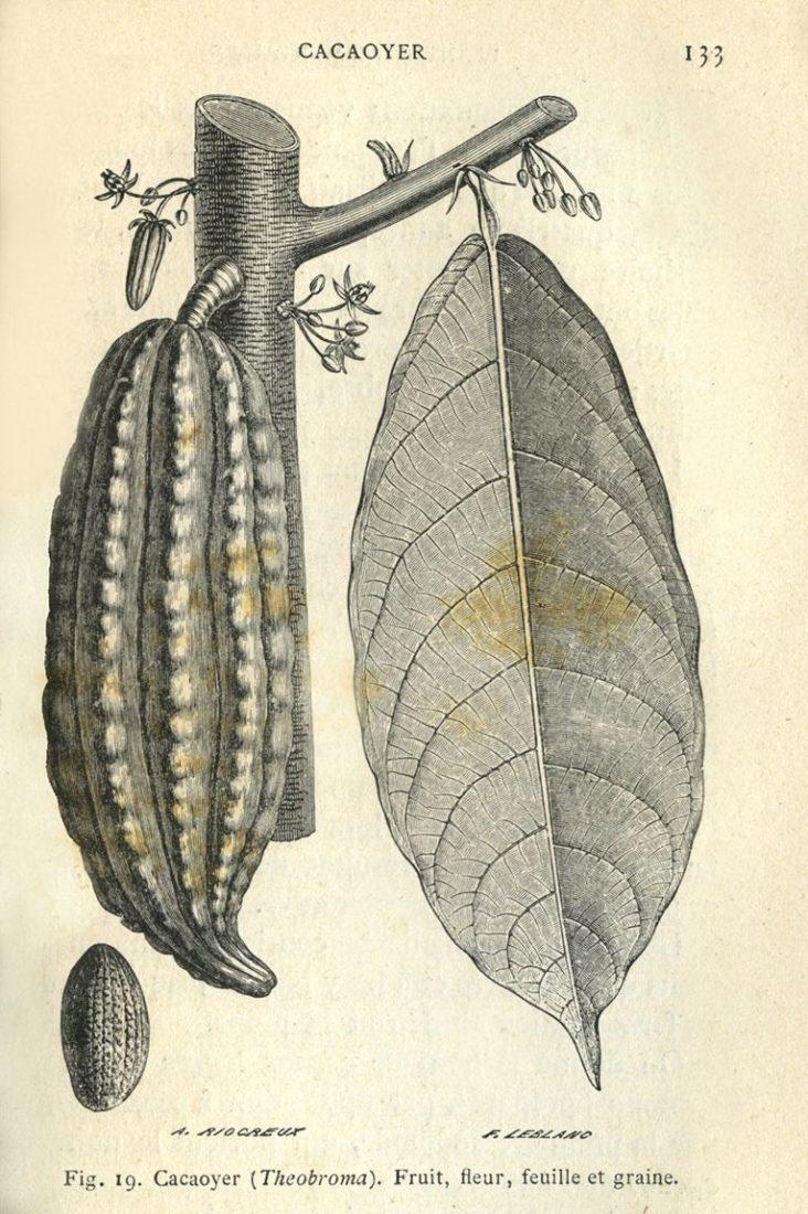 Gravure de Cacaoyer theobroma, collections du muséum d'Histoire naturelle de Toulouse