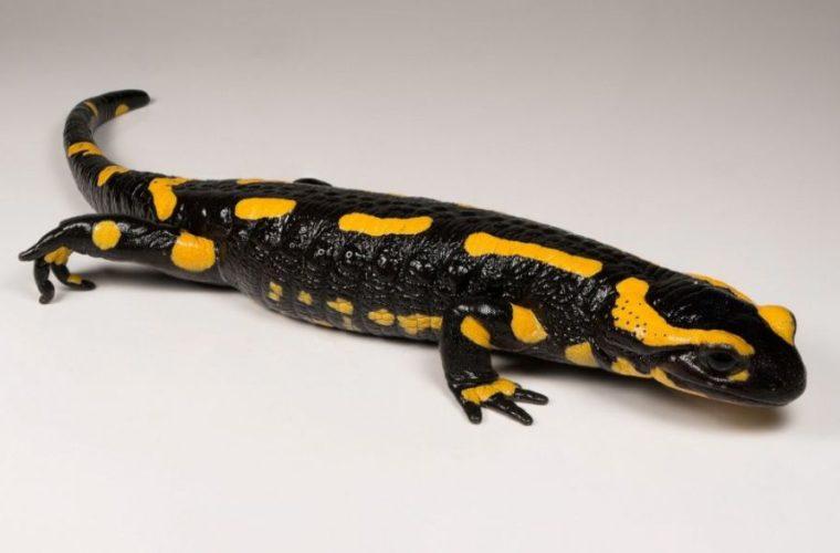 Salamandra Salamandra, collections du muséum de Toulouse